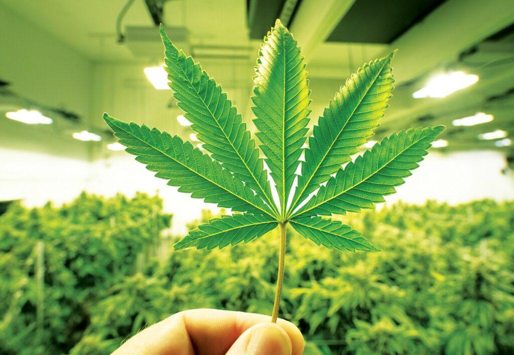 maconha e legalização